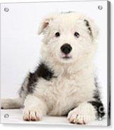 Border Collie Female Puppy Acrylic Print