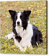 Border Collie In Field Of Yellow Flowers Acrylic Print