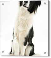 Border Collie Acrylic Print