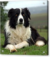 Border Collie Acrylic Print by Miguel Capelo