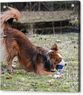 Border Collie Playing With Ball Acrylic Print by Mark Taylor