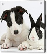 Border Collie Pup And Dutch Rabbit Acrylic Print