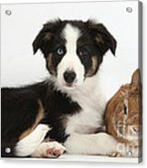 Border Collie Pup And Netherland-cross Acrylic Print