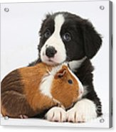 Border Collie Pup And Tricolor Guinea Acrylic Print