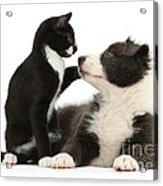 Border Collie Pup And Tuxedo Kitten Acrylic Print