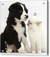 Border Collie Pup And White Kitten Acrylic Print