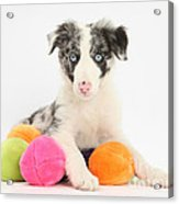 Border Collie Pup Acrylic Print