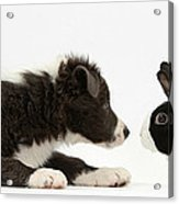Border Collie Puppy And Rabbit Acrylic Print