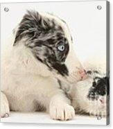 Border Collie Puppy With Rough-haired Acrylic Print