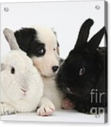 Border Collie Pups With Black Rabbit Acrylic Print