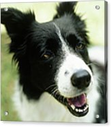 Border Collie Sitting On Grass,close-up Acrylic Print by Stockbyte
