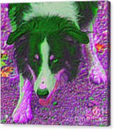 Border Collie Stare In Colors Acrylic Print by Smilin Eyes  Treasures