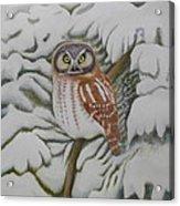 Boreal Owl Acrylic Print