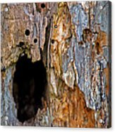 Bored By Woodpeckers Feeding Acrylic Print