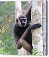 Bornean White-bearded Gibbon Acrylic Print