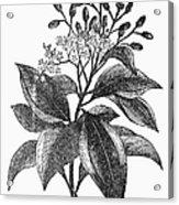 Botany: Cinnamon Tree Acrylic Print
