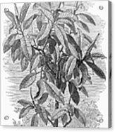 Botany: Ficus Elastica Acrylic Print