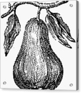 Botany: Pear Acrylic Print