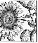 Botany: Sunflower Acrylic Print