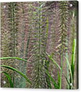 Bottle Brush Grass Acrylic Print