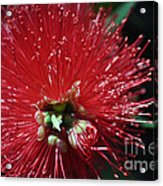 Bottle Brush Acrylic Print by Joanne Kocwin