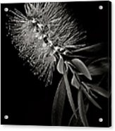 Bottlebrush In Black And White Acrylic Print