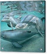 Bottlenose Dolphin Underwater Trio Acrylic Print