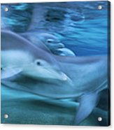 Bottlenose Dolphins Swimming Hawaii Acrylic Print