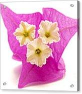 Bougainvillea Flower Acrylic Print