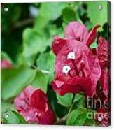 Bougainvillea San Diego Vibrant Red Flowers Closeup  Acrylic Print