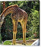 Bowing Giraffe Acrylic Print by Mariola Bitner