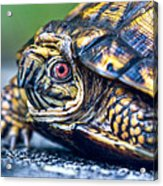 Box Turtle 2 Acrylic Print
