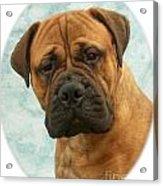 Boxer 493 Acrylic Print