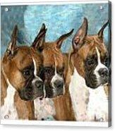 Boxer 655 Acrylic Print