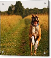Boxer Dog Running Happily Through Field Acrylic Print by Stephanie McDowell