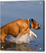 Boxer Playing In Water Acrylic Print