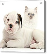 Boxer Puppy And Blue-point Kitten Acrylic Print by Mark Taylor