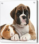 Boxer Puppy And Guinea Pig Acrylic Print by Mark Taylor