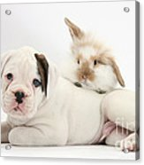 Boxer Puppy And Young Fluffy Rabbit Acrylic Print