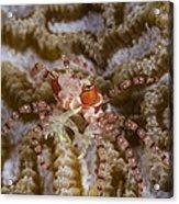 Boxing Crab In Raja Ampat, Indonesia Acrylic Print