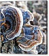 Bracket Fungi - Fungus Acrylic Print
