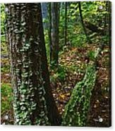 Bracket Fungi  On Pine At Granite Ridge Acrylic Print