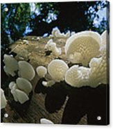 Bracket Fungus Favolus Brasiliensis Acrylic Print