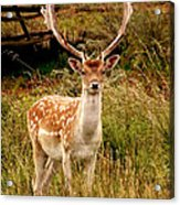 Wildlife Fallow Deer Stag Acrylic Print