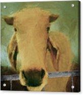 Brahma Cow Greeting Acrylic Print