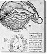 Brain And Pineal Gland Acrylic Print