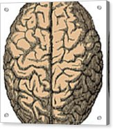 Brain Acrylic Print