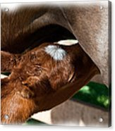 Brand New Colt..day Two Acrylic Print