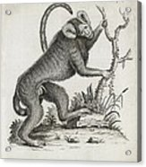 Brazilian Marmoset, 18th Century Acrylic Print
