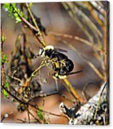 Breeding Bees Acrylic Print